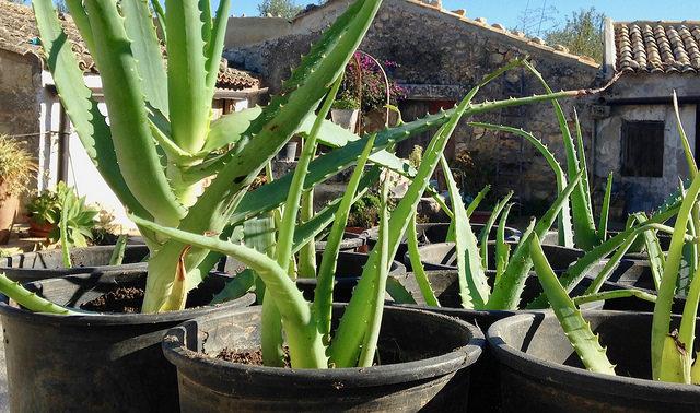 Aloe Vera Siciliana